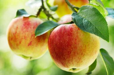 appelkanker
